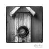 House Wren (Troglobytes aedon)