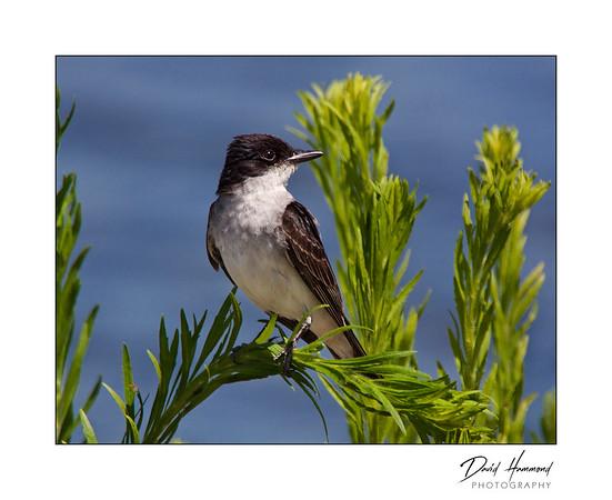 Kingbird (Tyrannus tyrannus)