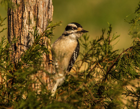 Downy Woodpecker (Picoides pubescens) Female