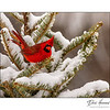 Cardinal in snow covered tree