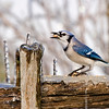 Feeding Blue Jay