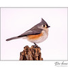 Tufted Titmouse (Baediophus bicolor)