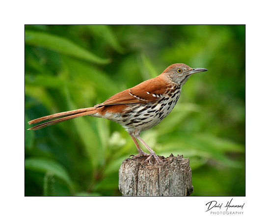 Brown thrasher (Tocostoma rufum )