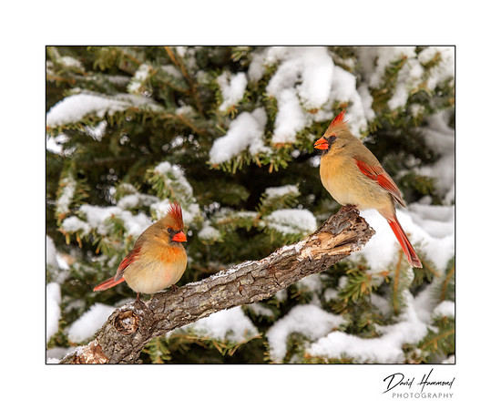 Pair of female Cardinals.
