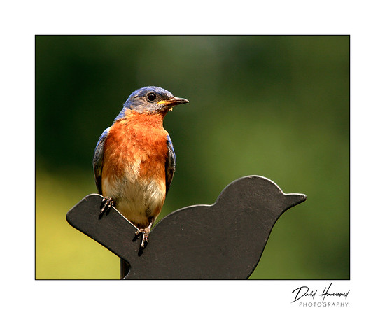 Bluebird on weathervane