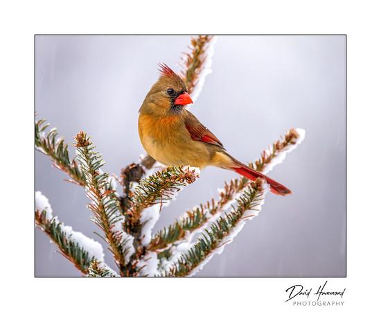 Female Cardinal (Cardinalis cardinalis)