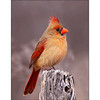 Female Northern Cardinal  (Cardinalis cardinalis)