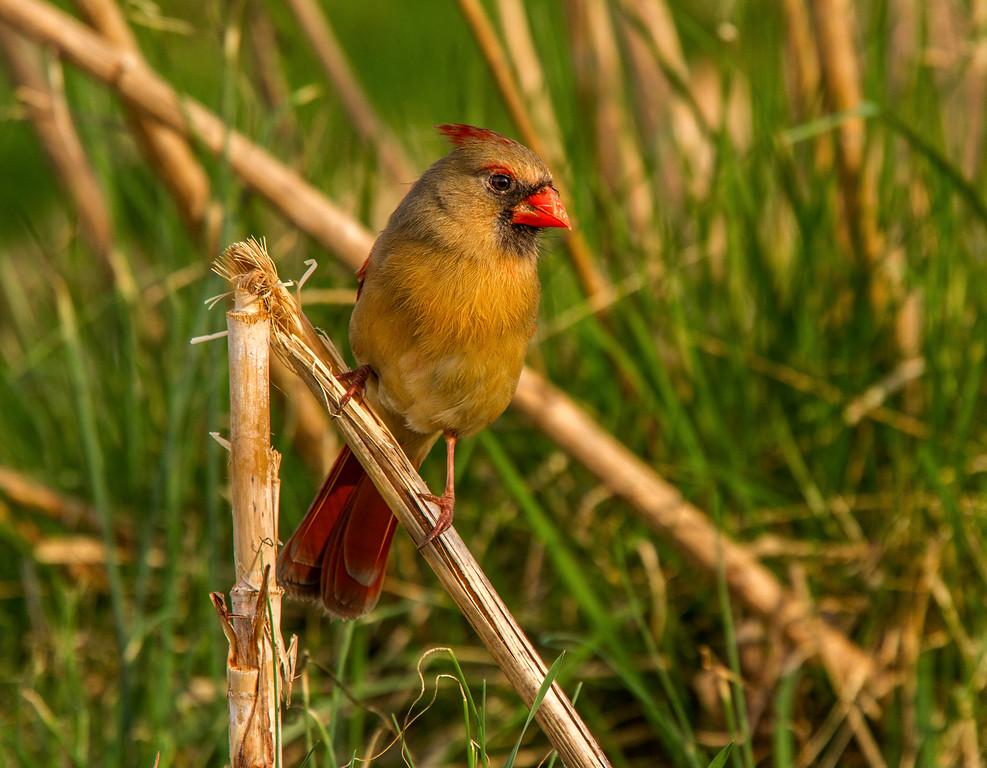 Northern Cardinal - Female (Cardinalis cardinalis)