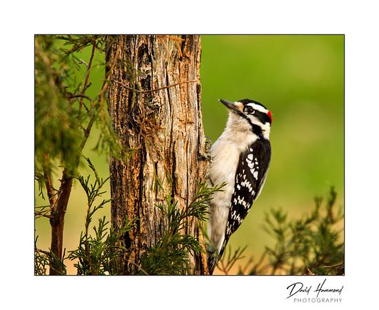 Downy Woodpecker (Picoides pubescens )