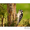 Downy Woodpecker (Picoides pubescens )