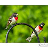Rose-breasted Grosbeaks (Pheucticus ludovicicianus)