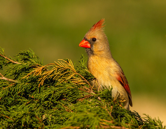 Northern Cardinal - Female (Cardinalis cardinalis)
