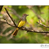 Great Crested Flycatcher (Mylarchus crinitus)