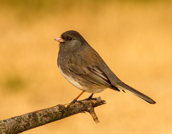 Dark-eyed Junco - Female (Junco hyemalis)