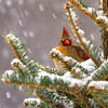 Northern Cardinal in Snowstorm.