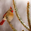 Female Northern Cardinal (Cardinalis cardinalis) in snow.