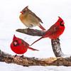 Cardinal Trio