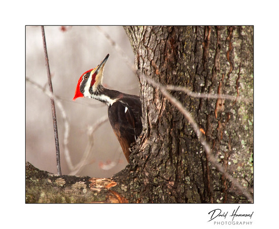 Pileated Woodpecker (Colaptes chrysoldes)
