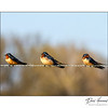 Barn Swallows on Fence