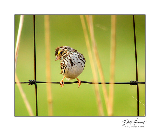 Song Sparrow (Melospiza melodia) on Fence