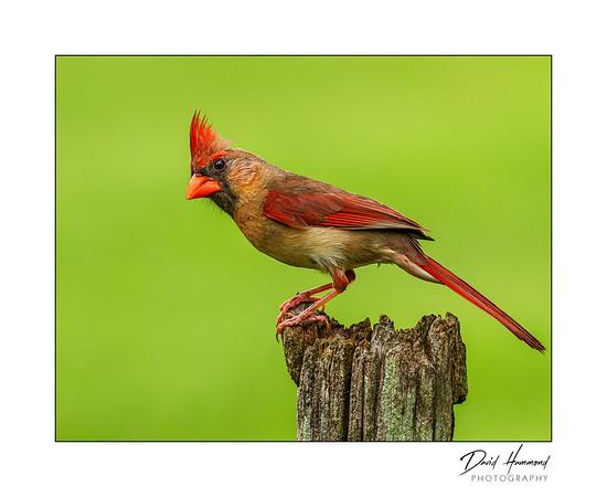 Northern Cardinal - Female (Cardenalis cardenalis)