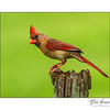 Northern Cardinal - Female (Cardenalis cardenalis)