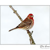 Housefinch (Carpodacus mexicanus)