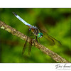 Blue Dasher Male (Pachydiplax longipennis)