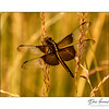 Widow Skimmer - Female