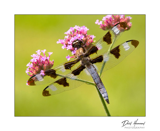 Twelve-Spotted Dragonfly (Libellula pulchella)