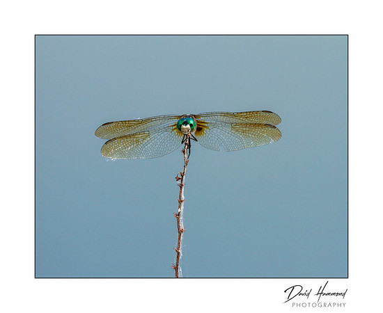 Blue Dasher (Pachydeplax longipennis)