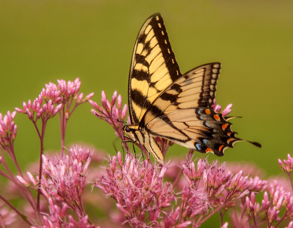 Eastern Tiger Swalllowtail (Papilio glaucus)