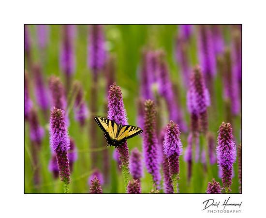Tiger Swallowtail / Blazing Star