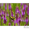 Tiger Swallowtail / Blazing Star