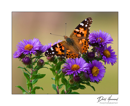 American Painted Lady  (Vanessa cardui)