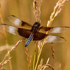 Widow Skimmer - Male (Libellula luctuosa)