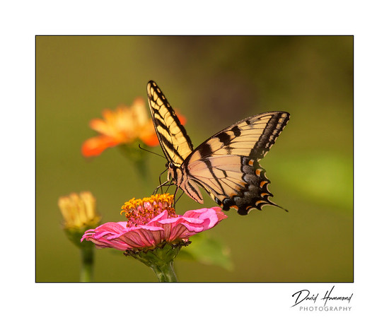 Eastern Tiger Swalllowtail