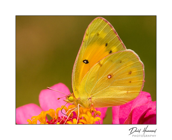 Orange Sulphur (Colias eurtheme)