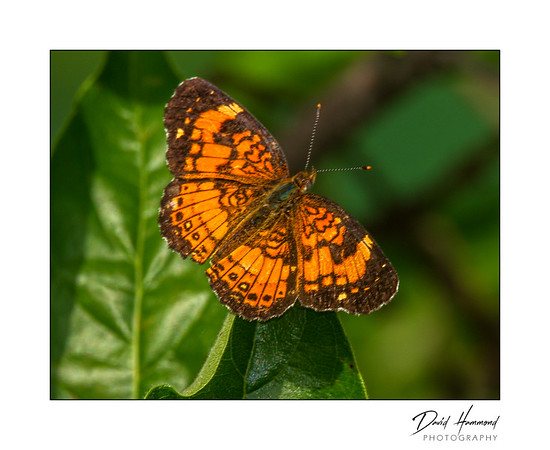 Pearly Crescentspot Female (Phyciodes tharos)
