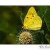 Orange Sulphur (Calias eurytheme)