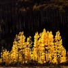 Glowing Aspens