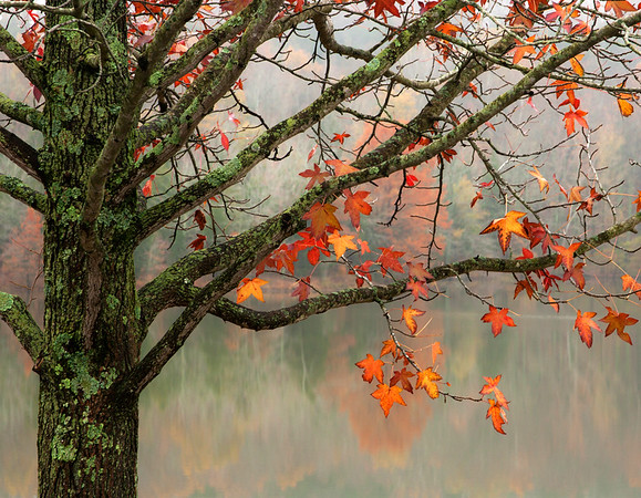 Autumn Sweet Gum