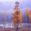 Cottonwood tree in snowfall