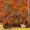 Horseshoe Lake Cypress