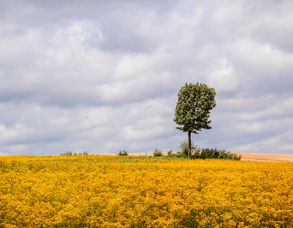 Lone Tree in Butterweed Field