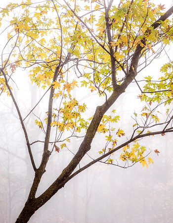 Maple tree/Fog