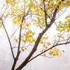 Maple tree/Fog