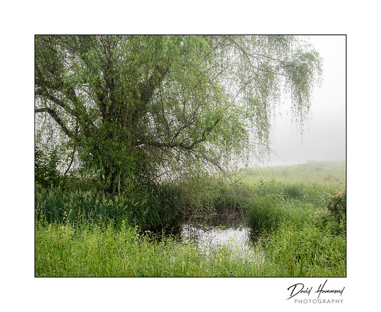 Willow tree & small pond
