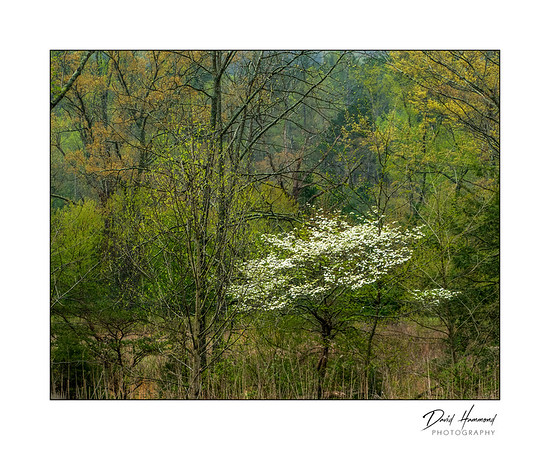 Dogwood Tree in Woods