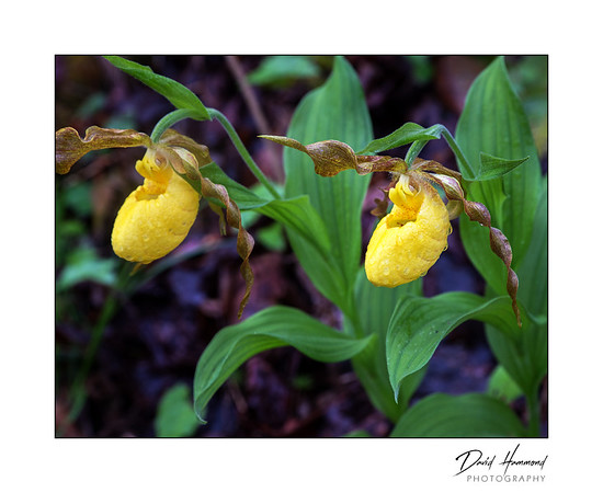 Yellow Lady's-slipper (Cypripedium calceolus)